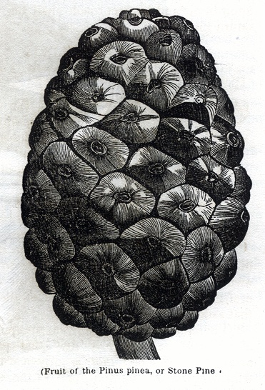 Fruit of the Pinus Pinea, or Stone Pine