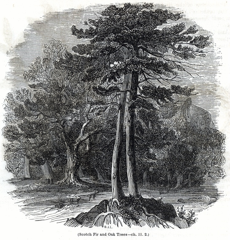 Scotch Fir and Oak Trees