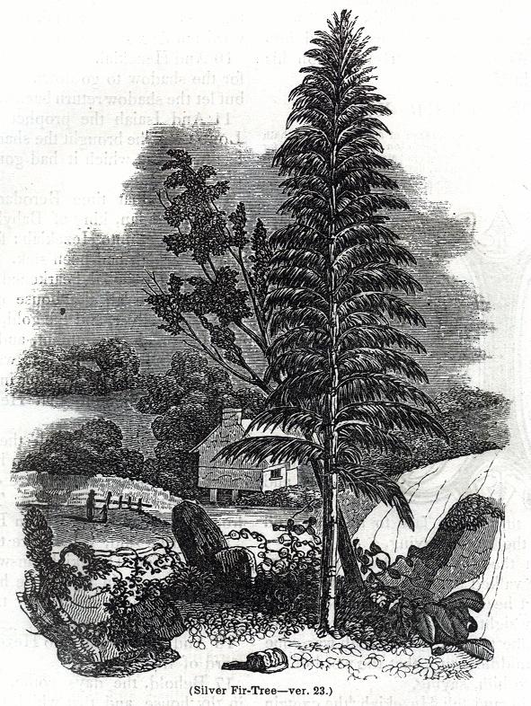 Silver Fir-Tree