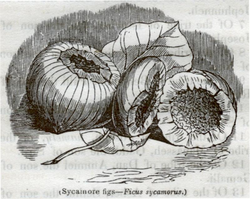 Sycainore Figs - Ficus Sycamorus