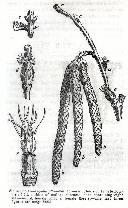 White Poplar - Populus Alba
