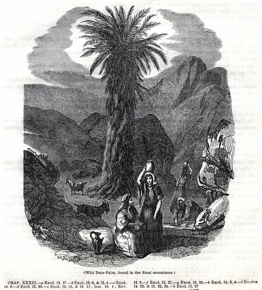 Wild Date Palm, found in the Sinai mountains